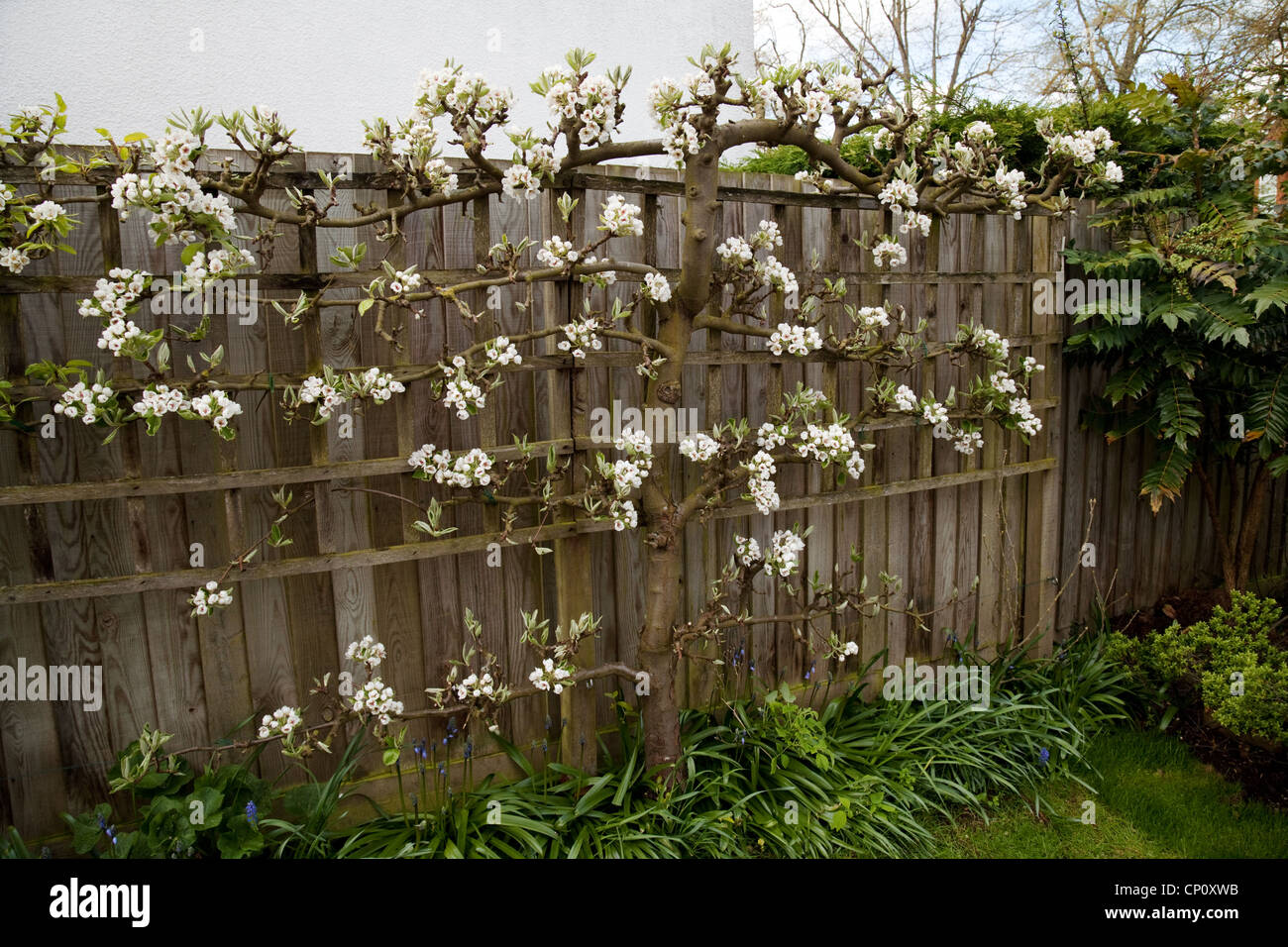 Espalier Pear Tree Against A Fence In Spring Uk Stock