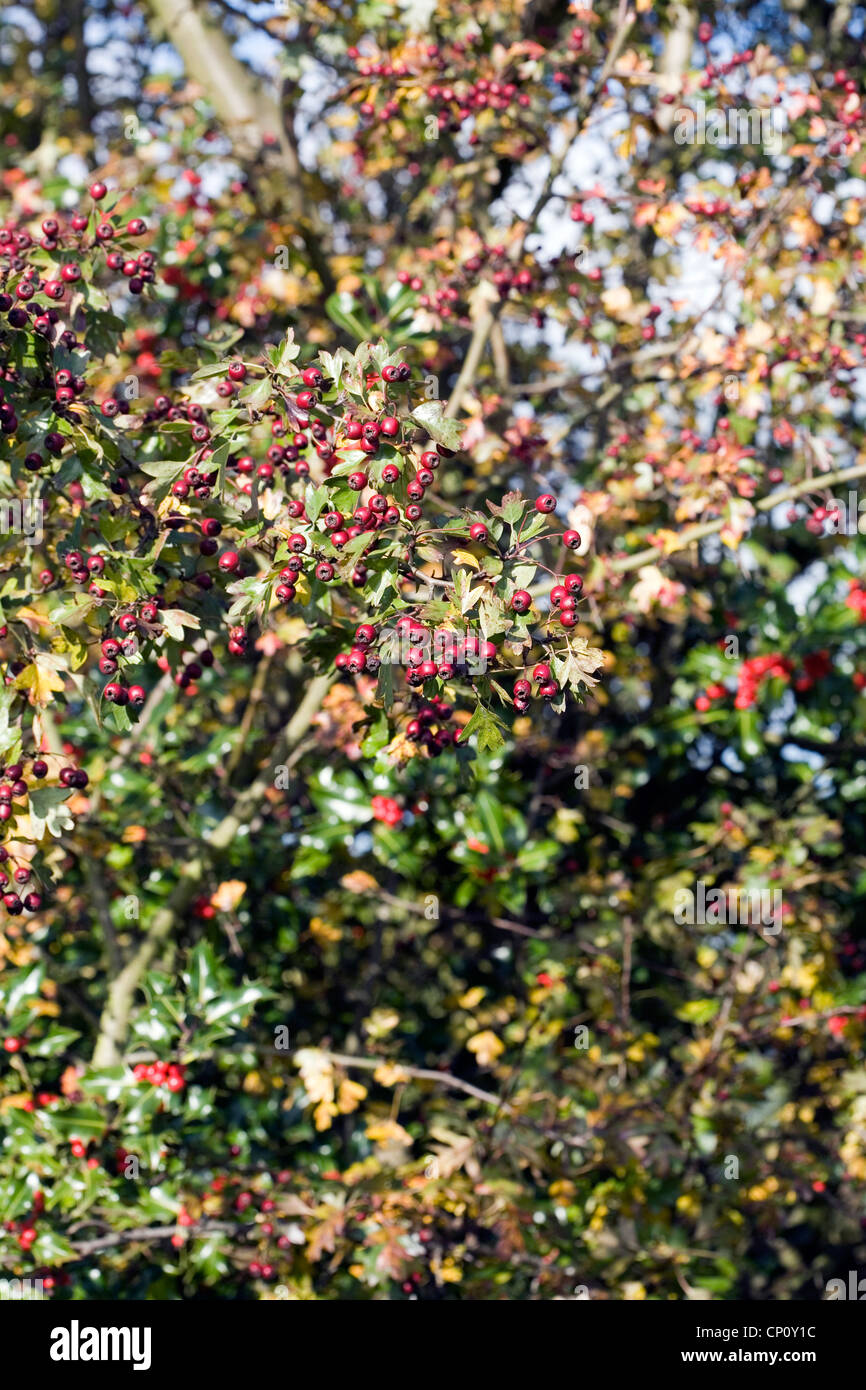 Hawthorn tree with berries Autumn The Fall  Alderley Edge Cheshire England - Stock Image