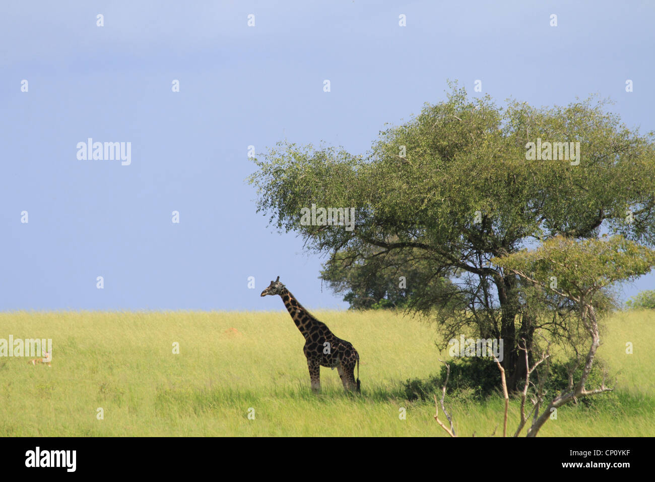 Mature male Rothschild's Giraffe (Giraffe camelopardis rothschildi) at Murchison Falls National Park, Uganda - Stock Image