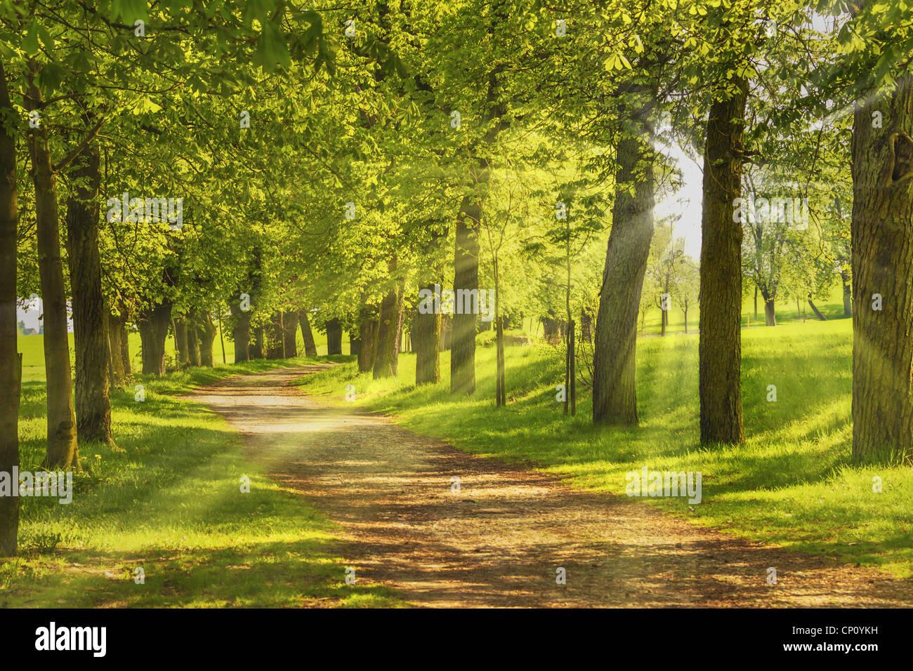 Baumallee, die Sonne scheint duch die Bäume | Avenue of trees, the sun shining through the trees - Stock Image
