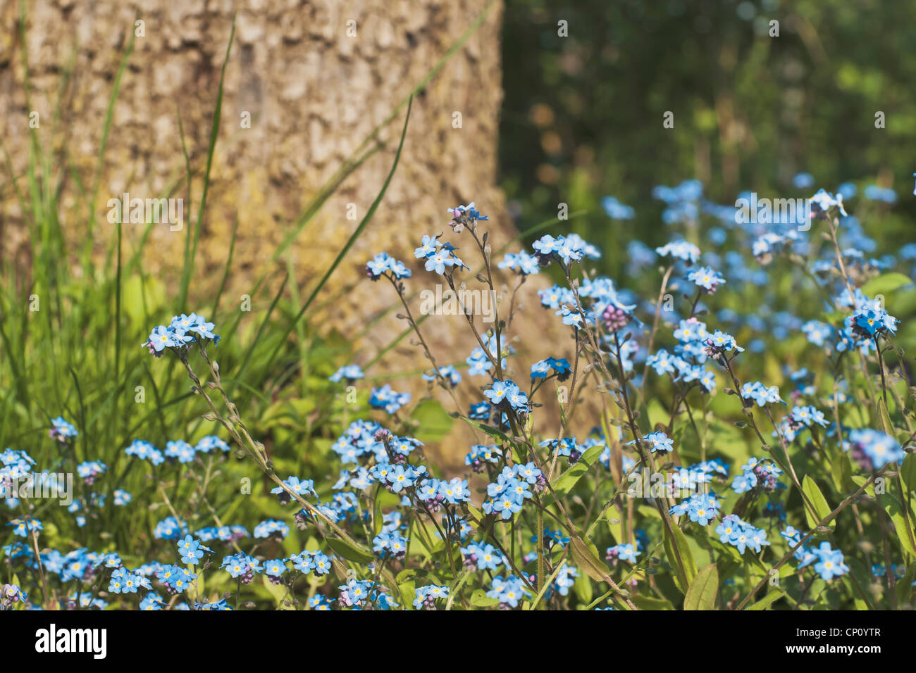 Myosotis is a genus of flowering plants in the family Boraginaceae that are commonly called Forget-me-not. Stock Photo