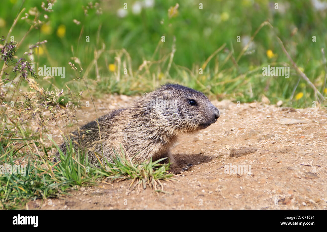 baby marmot stands out of her den in Alpine meadow - Stock Image
