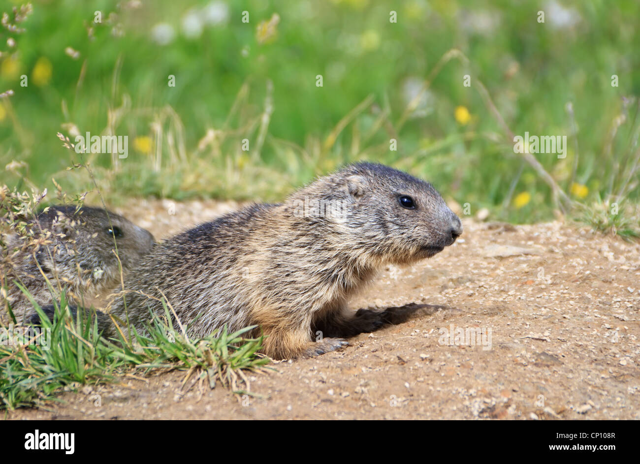 two baby marmots stand out of her den in Alpine meadow - Stock Image
