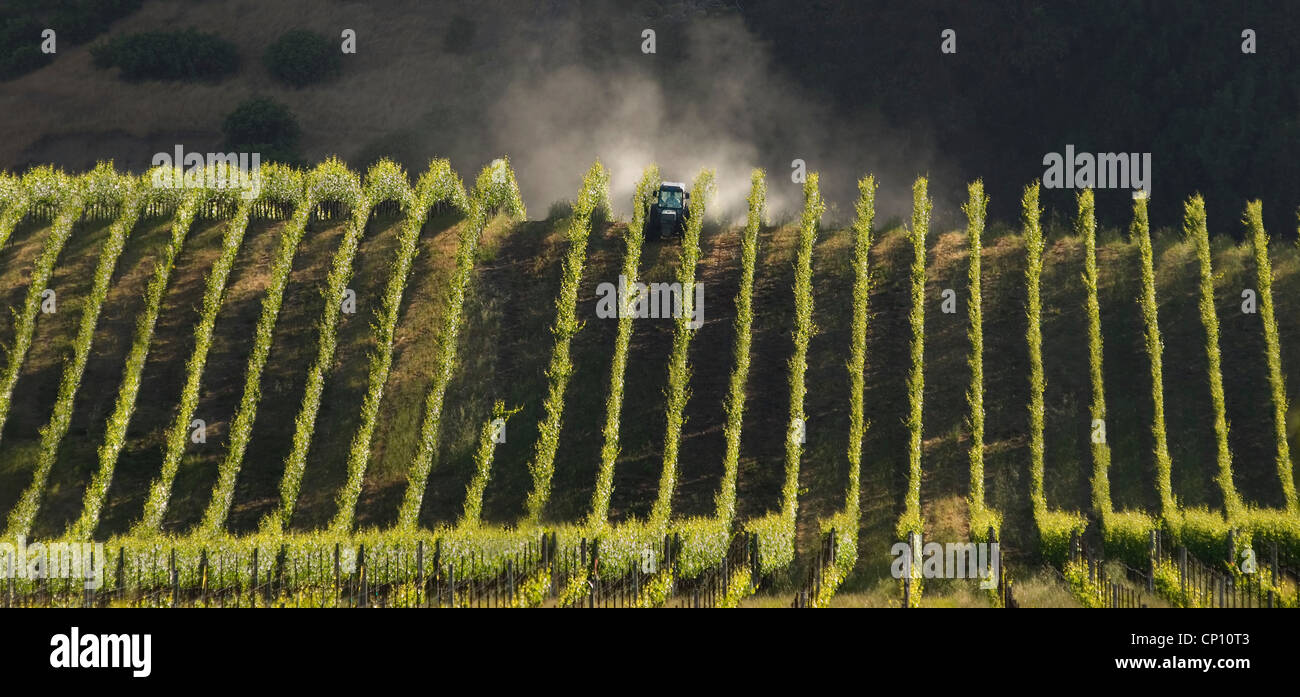 Anderson Valley Vineyard. Tending the grapes. California agriculture. - Stock Image