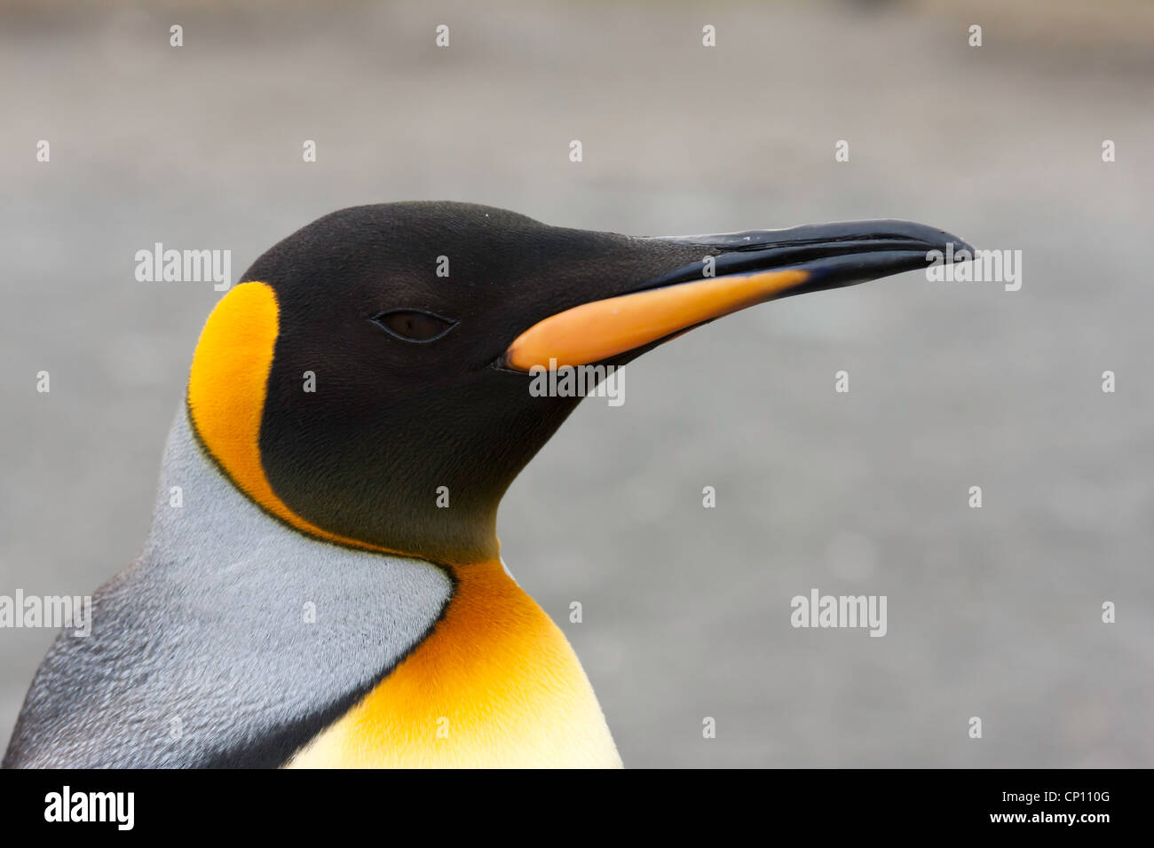 Detail of the head of a King Penguin - Stock Image