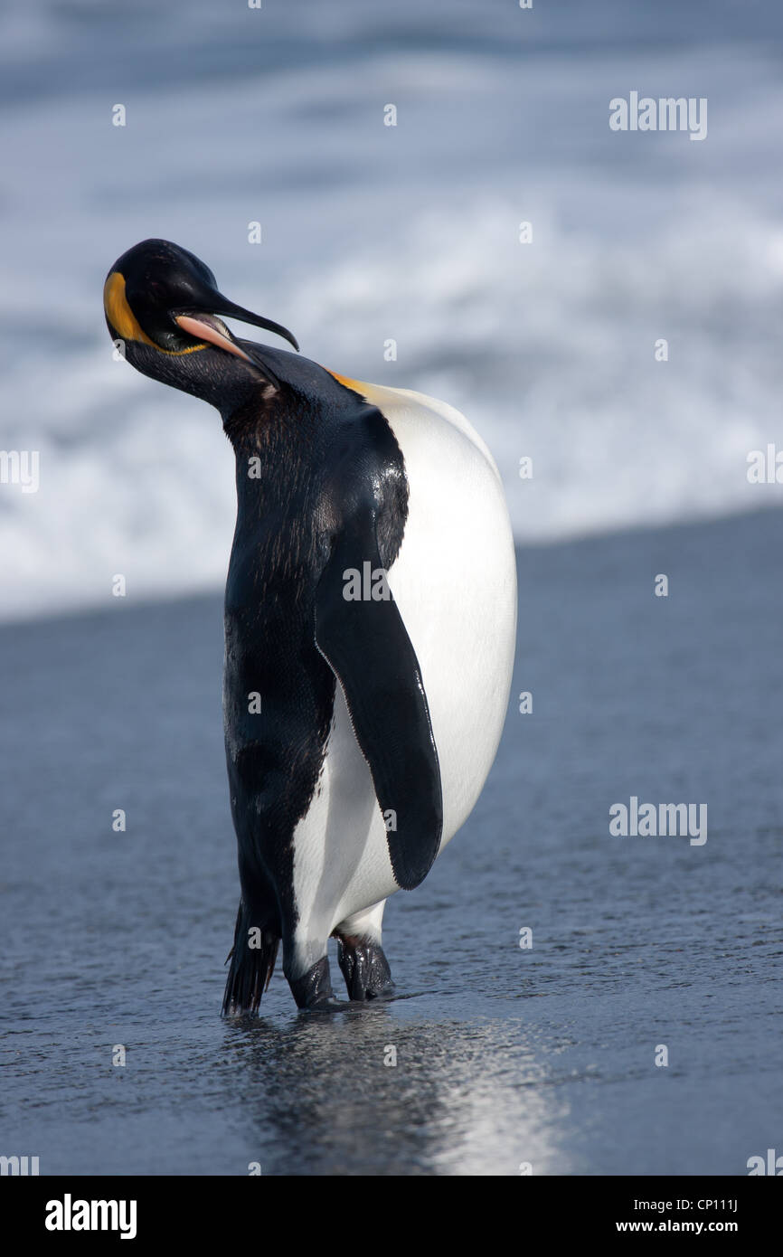 King Penguin returns full from a fishing trip.  Seen with the surf in the background - Stock Image
