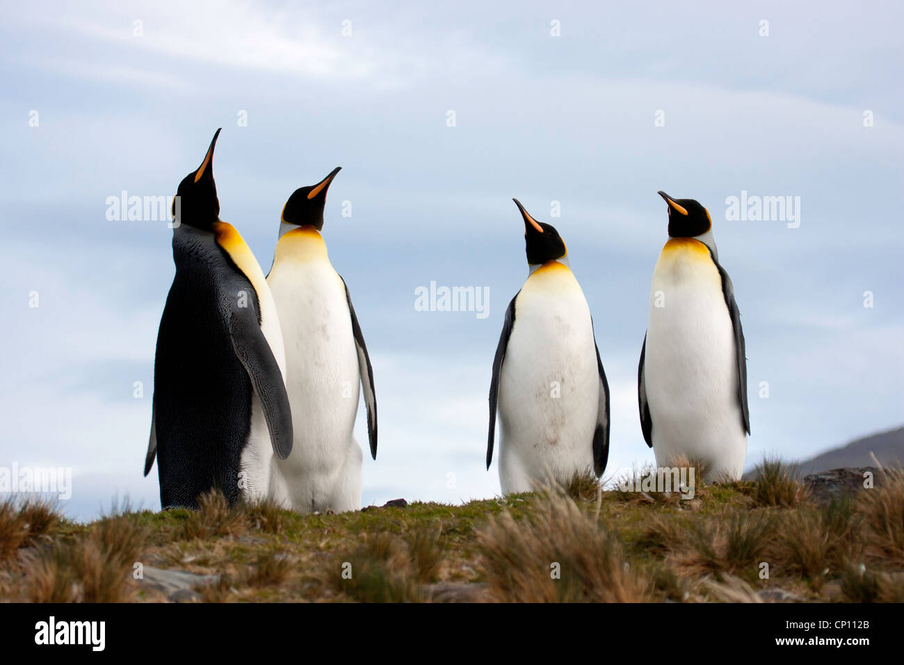 A group of King Penguins on South Georgia stretch in front of a blue sky - Stock Image