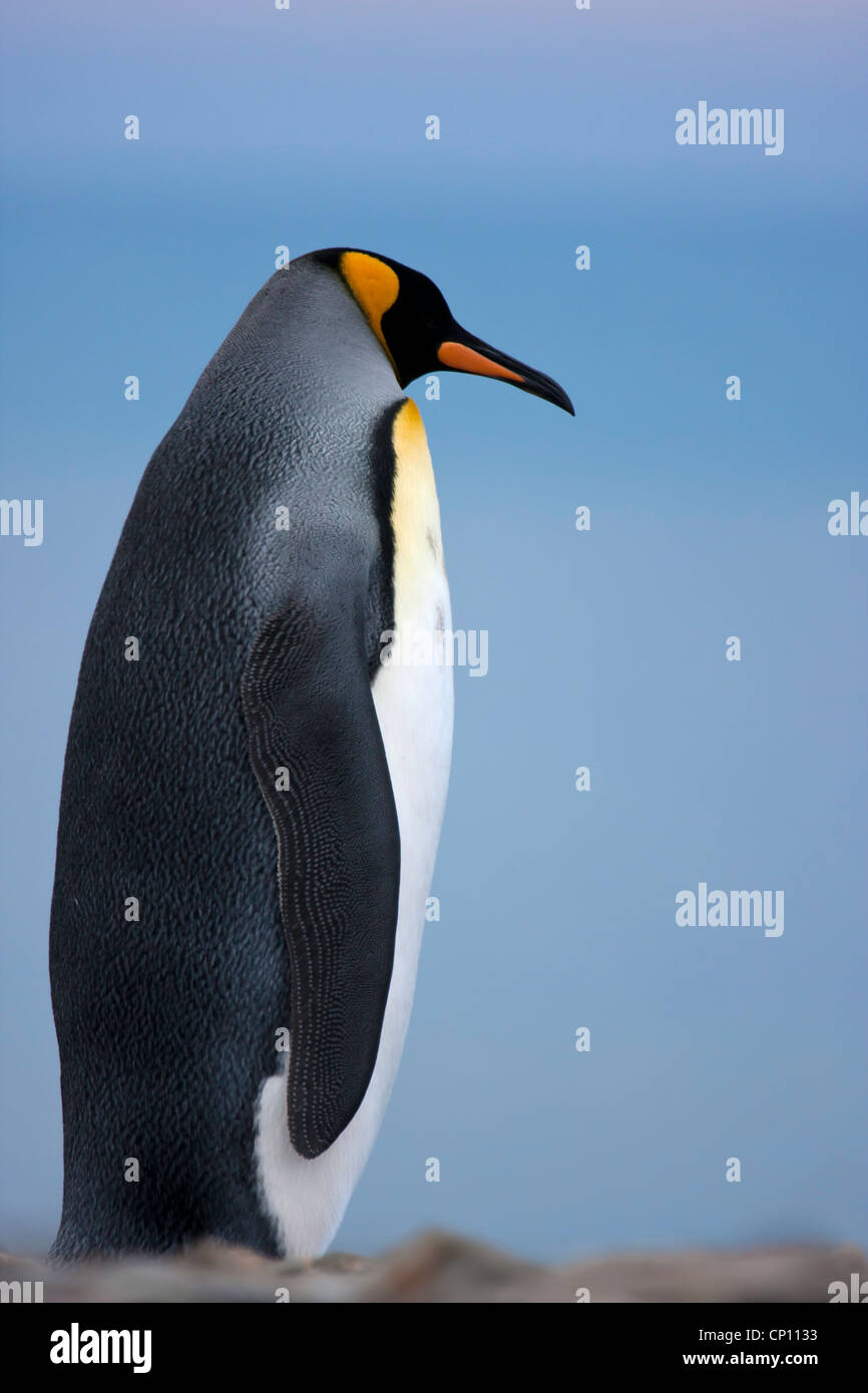 A King Penguin contemplatively views the surroundings of St Andrews Bay, South Georgia - Stock Image