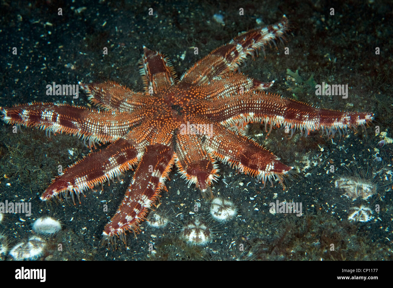 Multi armed starfish, Luidia sp., preying on urchins Sulawesi Indonesia - Stock Image