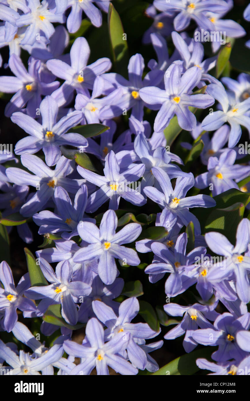 Cholmondeley Castle Gardens Close Up Spring View Of Chionodoxa
