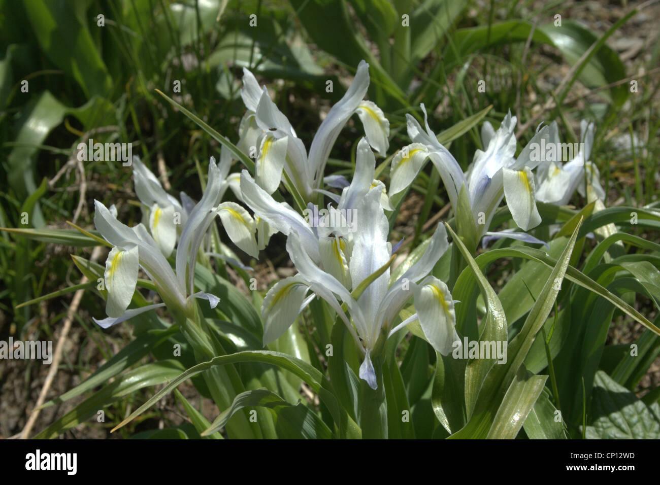 Iris vicaria, Hissar range Pamiro-Alai TajikistanStock Photo