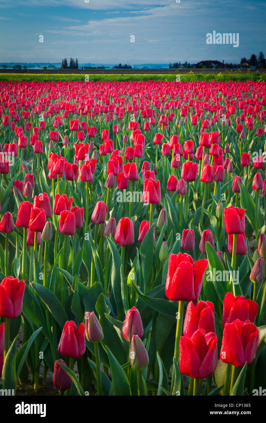 Tulips in Skagit Valley during the annual Tulip Festival Stock Photo