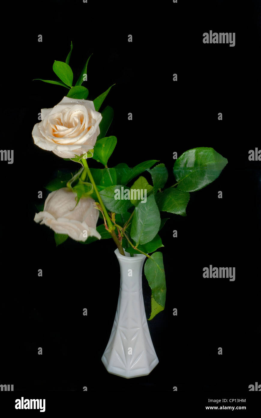 White Rose in a white vase with its reflection looking like 2 rose buds - Stock Image
