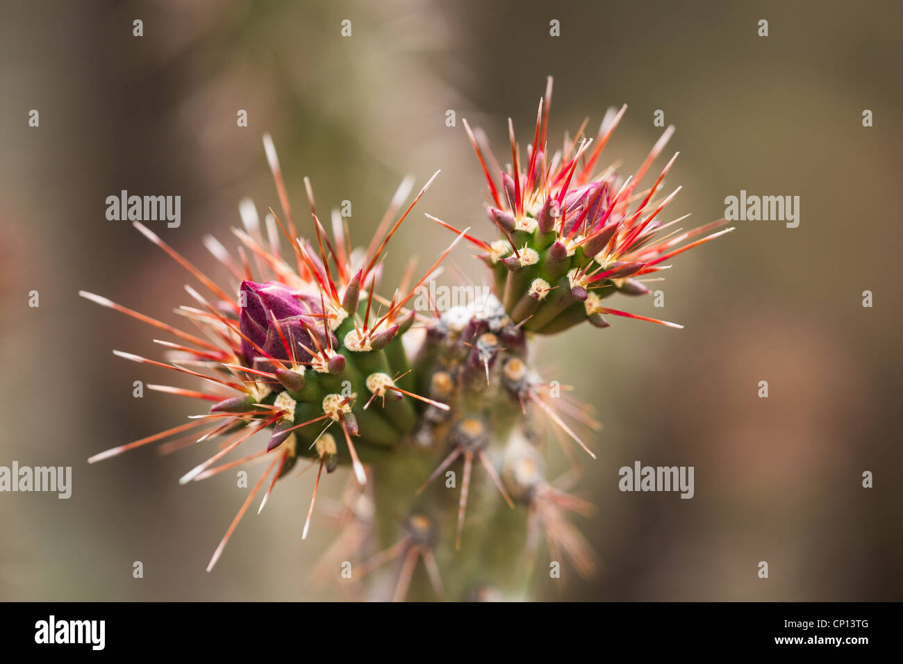 Macro photograph of a Buckhorn Cholla bud Stock Photo