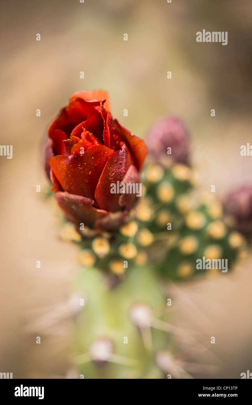 Macro photograph of a Buckhorn Cholla blossom and buds Stock Photo