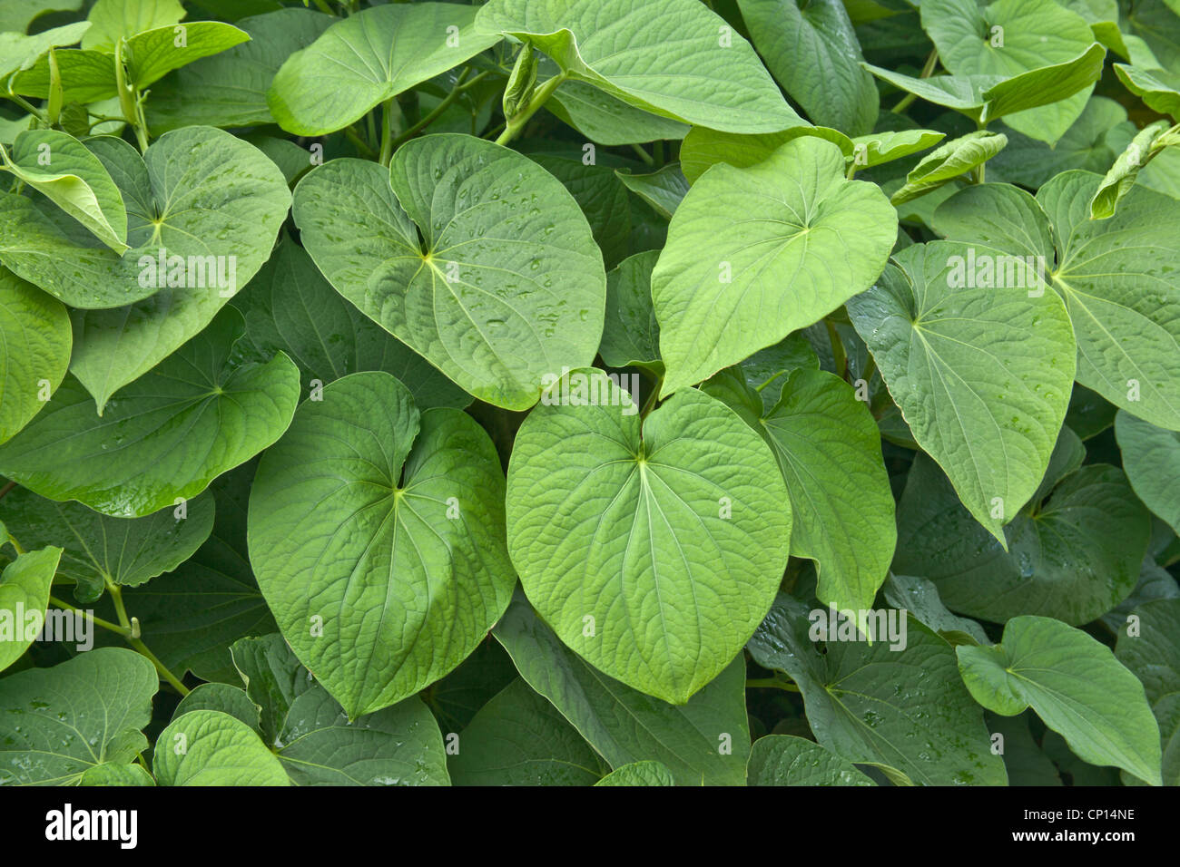 Kava foliage, shrub growing. - Stock Image