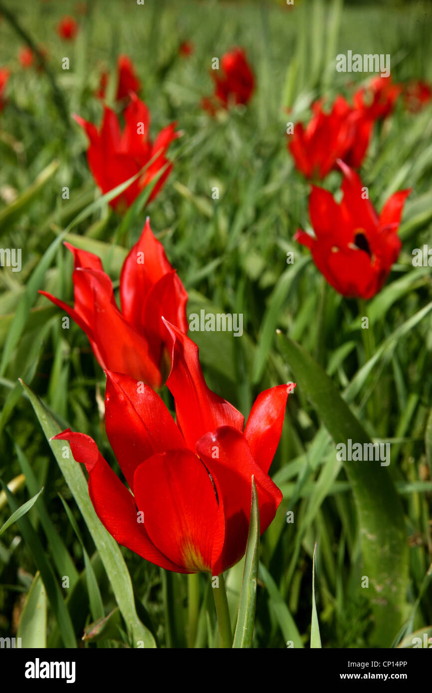 """Beautiful tulips of Chios island, called """"lalades"""" by the locals. Northeast Aegean, Greece Stock Photo"""