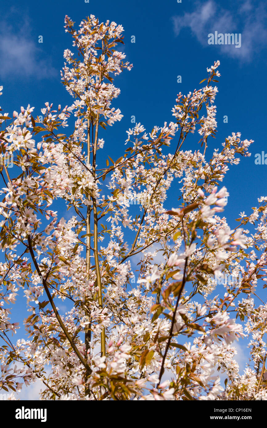 Amelanchier High Resolution Stock Photography and Images - Alamy   1390x866