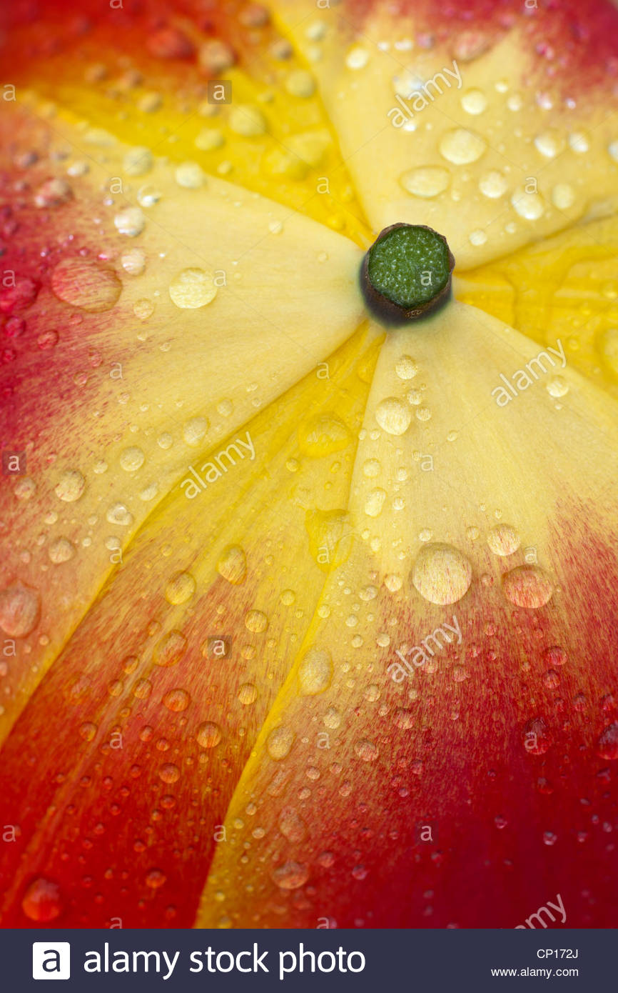 abstract close up tulip petals red orange yellow spring flower garden plant rain drops droplets - Stock Image