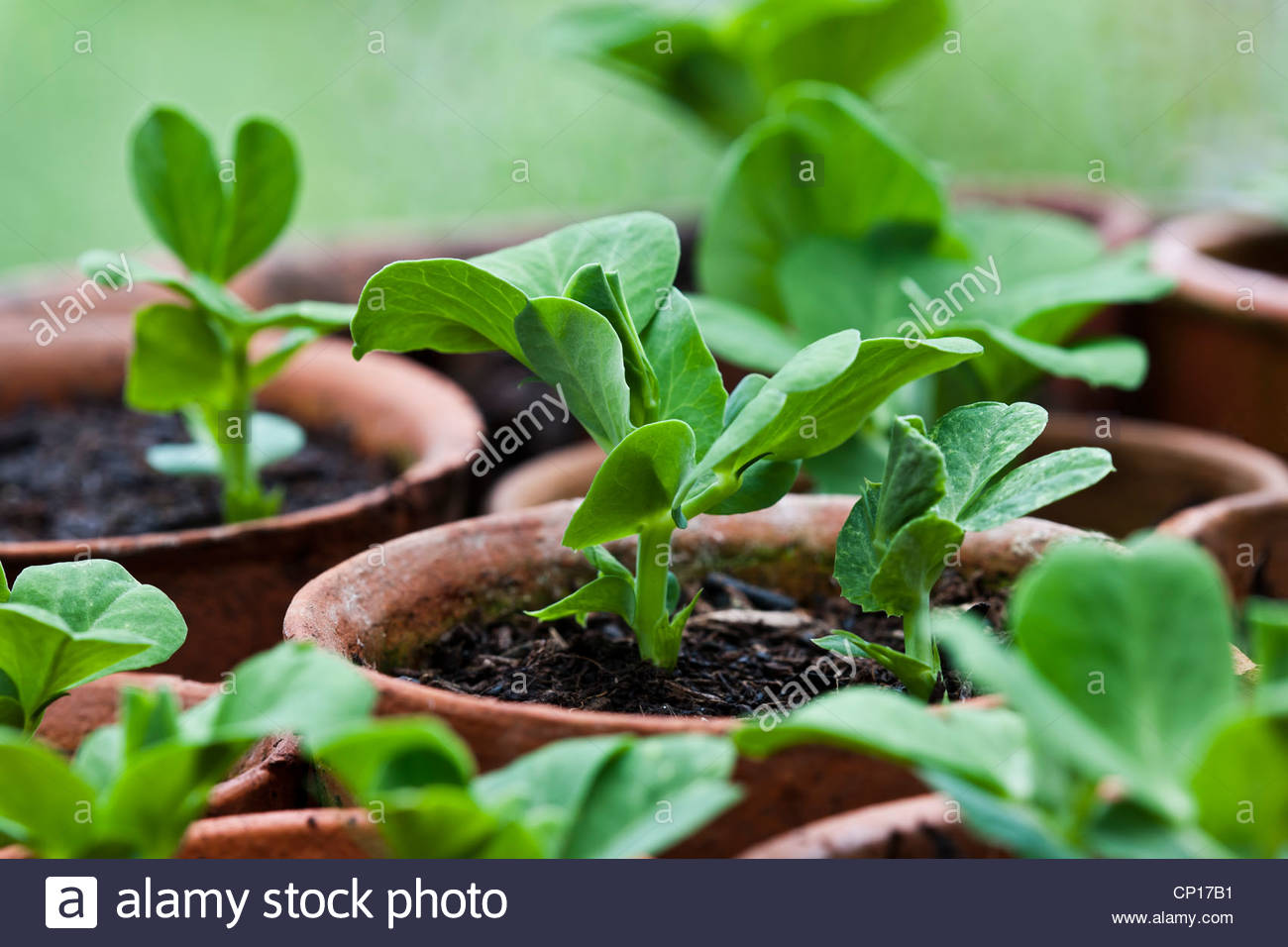Pea Seedling Germinating First Leaf Leaves Pots Small Seed Tray Compost  Home Grown Organic Edible Rows Kitchen Summer April Gard