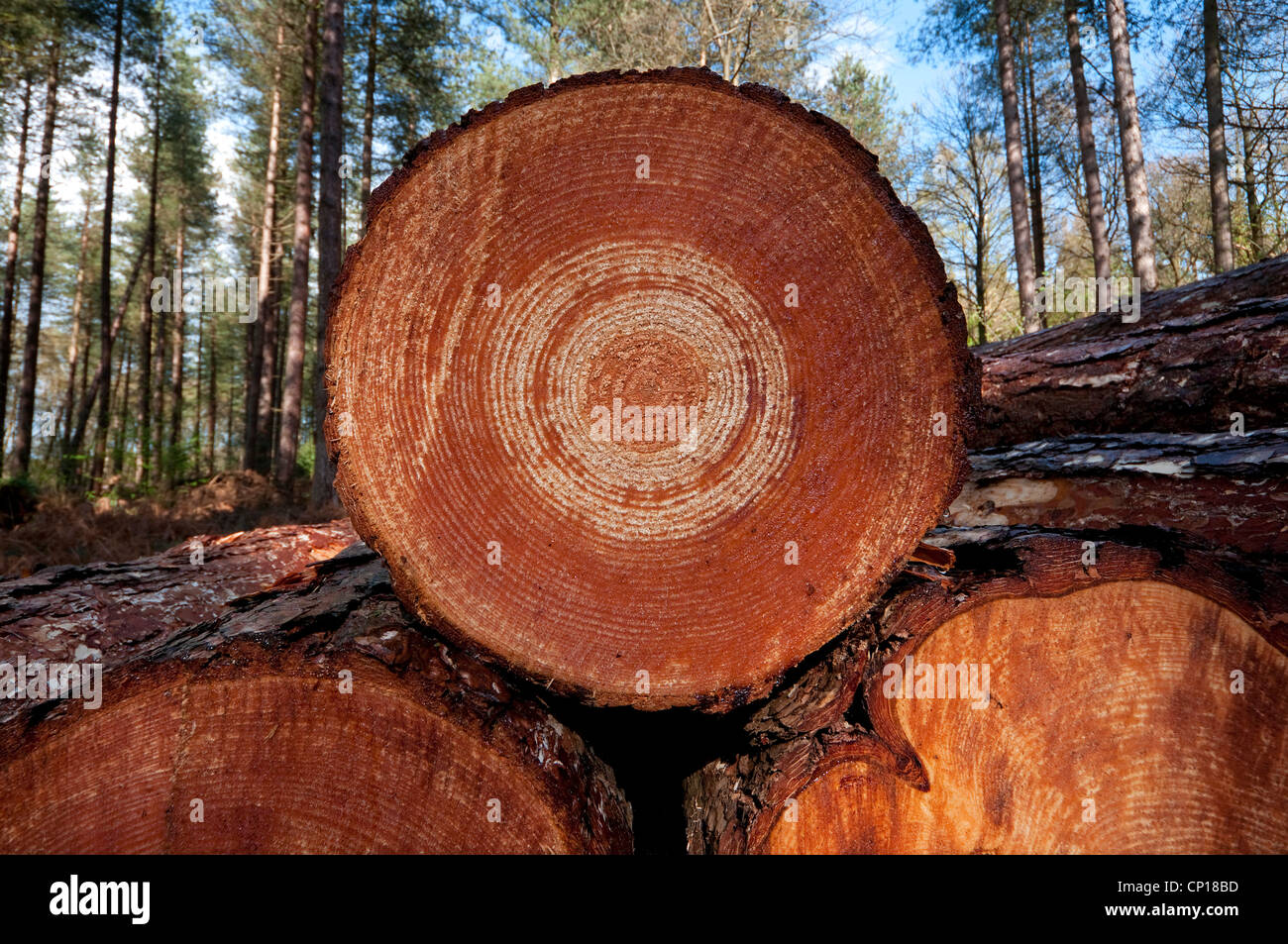 sawn timber logs in forest, norfolk, england - Stock Image