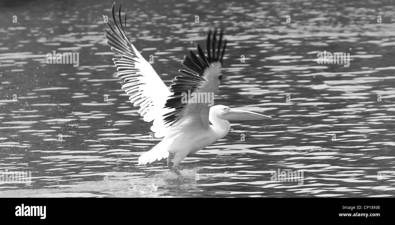 Rosy pelican  landing in lake - Stock Image