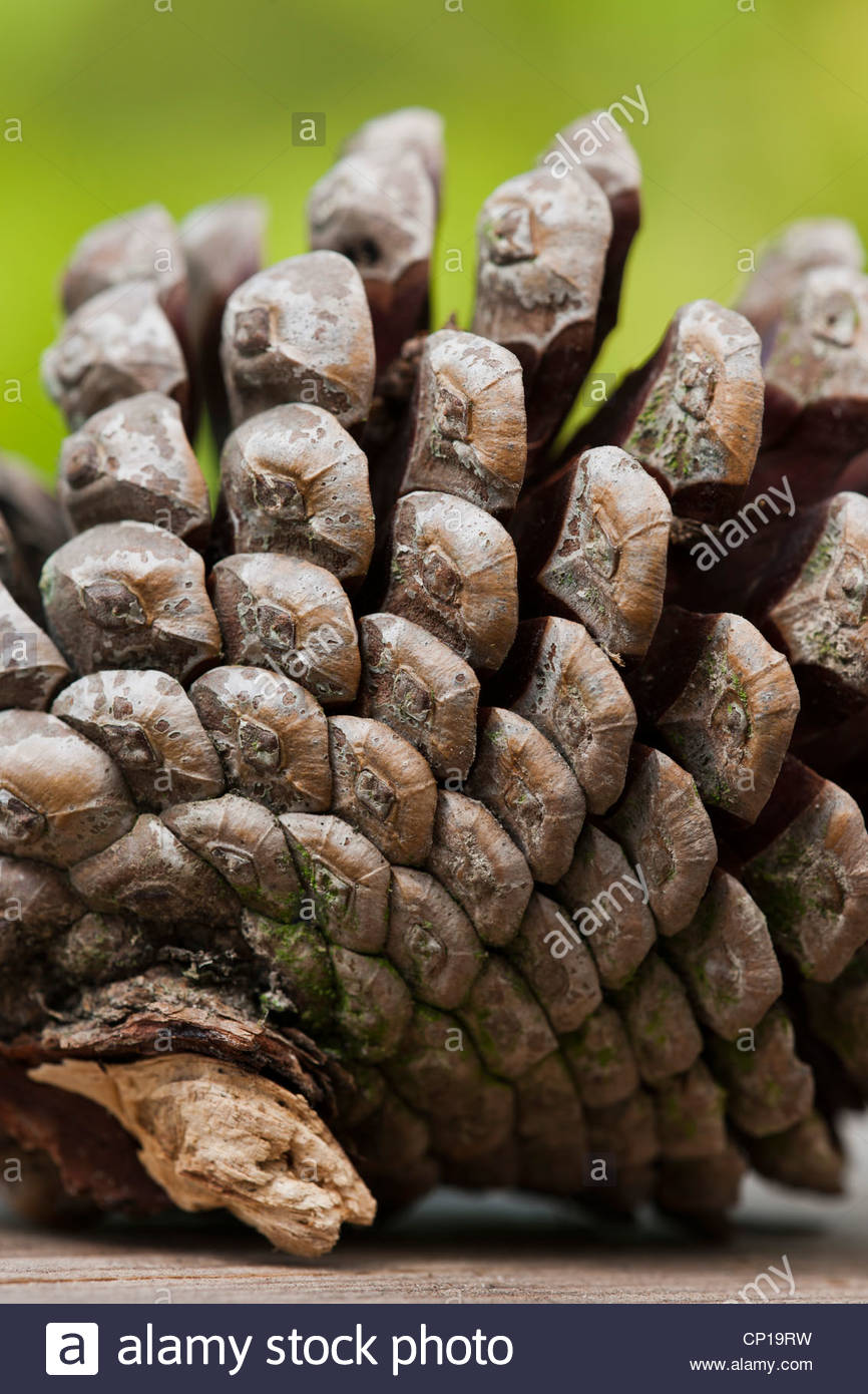 pine cone close up sporal form fibonacci series number pattern nature natural seed brown tree garden plant - Stock Image
