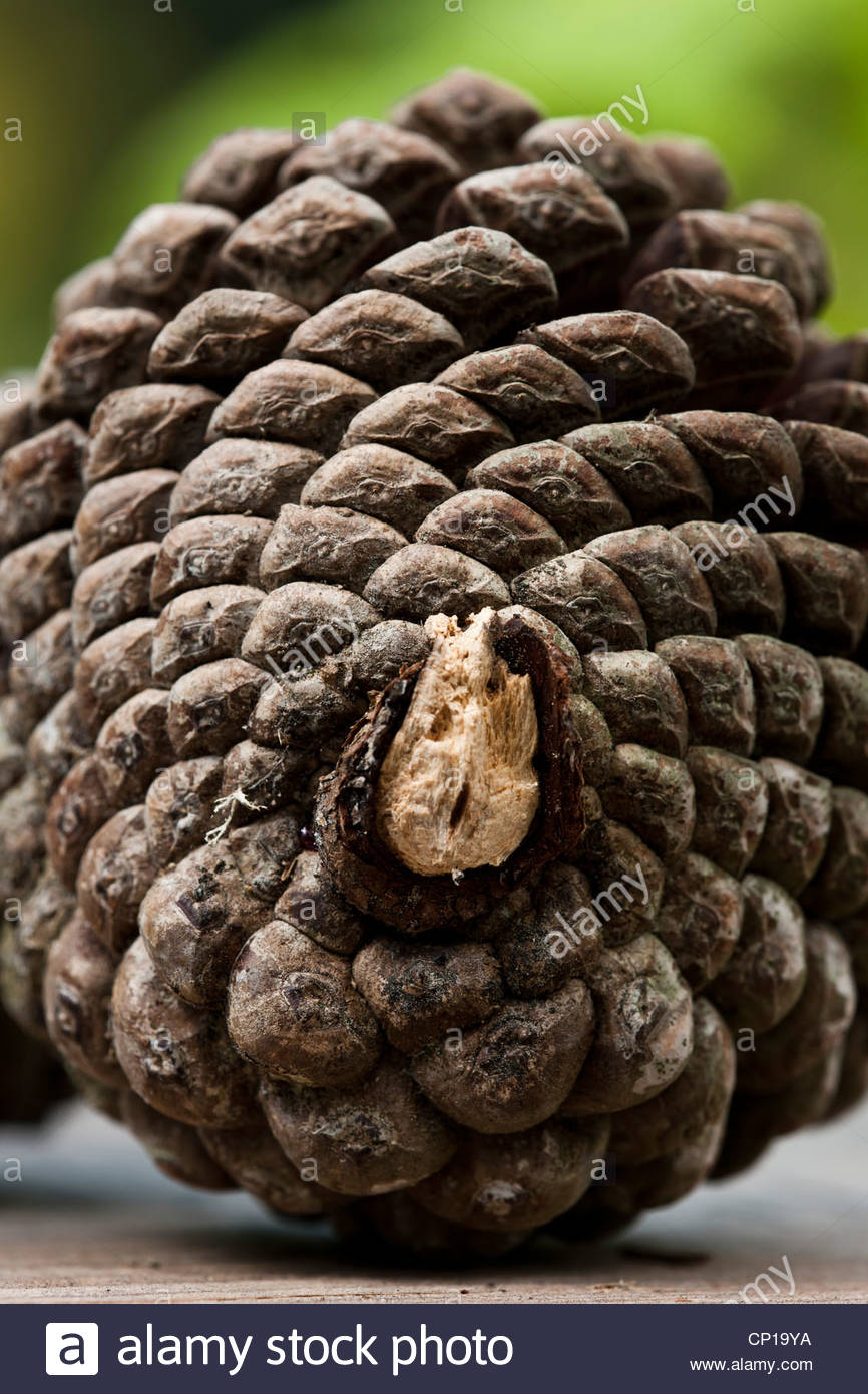 pine cone close up - Stock Image