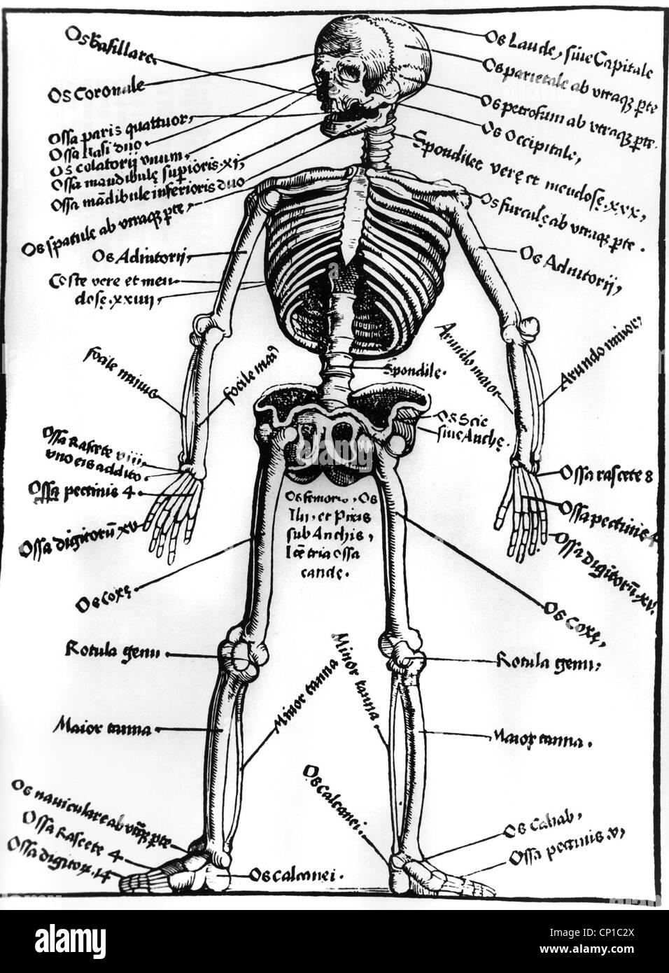 medicine, anatomy, skeleton, woodcut of 'Spiegel der Arzney' by Laurentius Phrysius, printed by Johannes - Stock Image