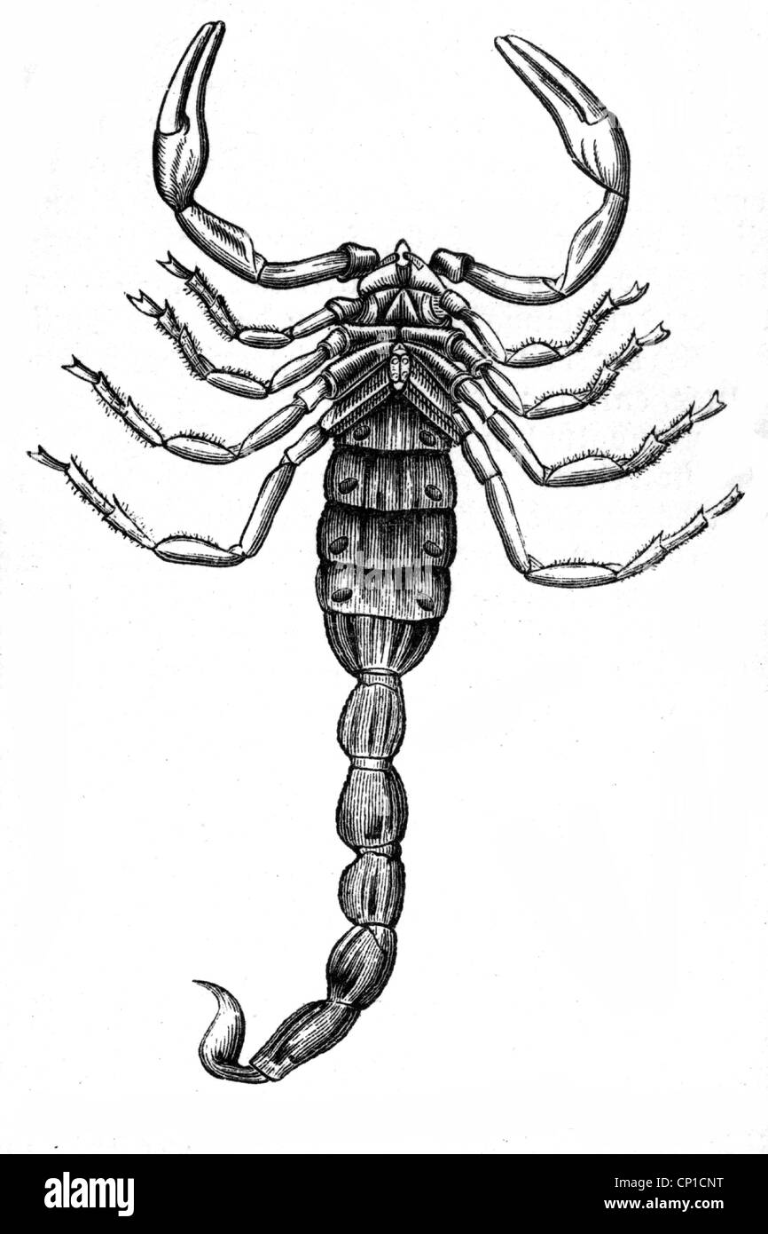 zoology, arachnid, scorpion, African scorpion, (buthus afer L.) , underside, wood engraving, 19th century, bottom, - Stock Image