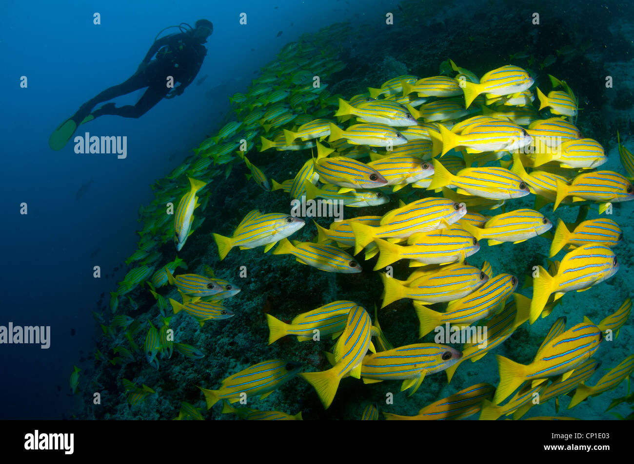 Diver amongst school of yellow snapper (Lutjanus argentinventris) on South Ari Atol, Maldives - Stock Image