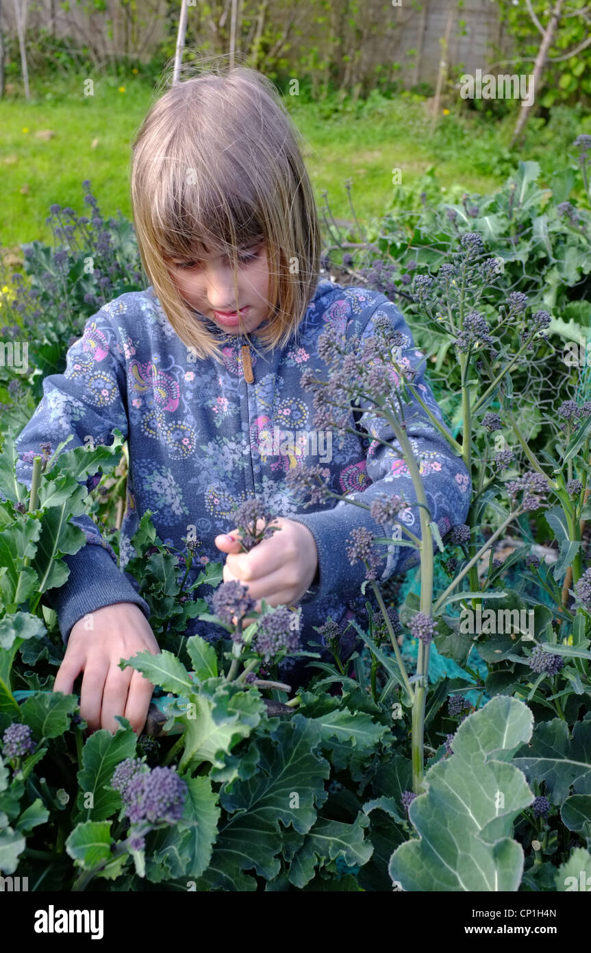 A 9 year-old girl cutting purple-sprouting broccoli in a Cornish garden - Stock Image