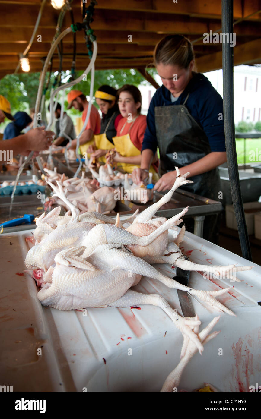 Group cleaning and preparing slaughtered chickens on a poultry farm - Stock Image