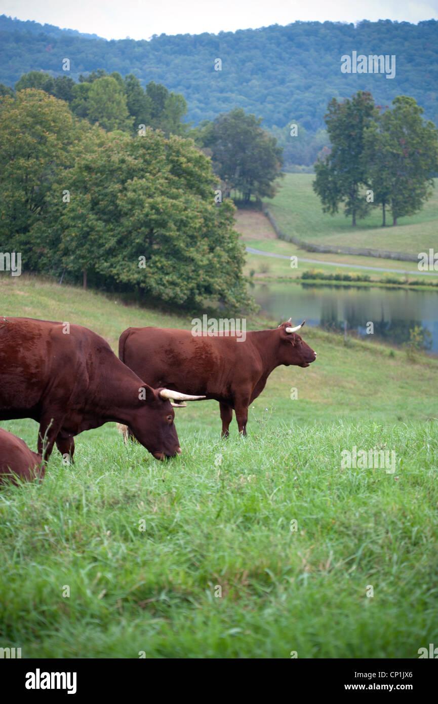 Devon Cattle on Pasture - Stock Image