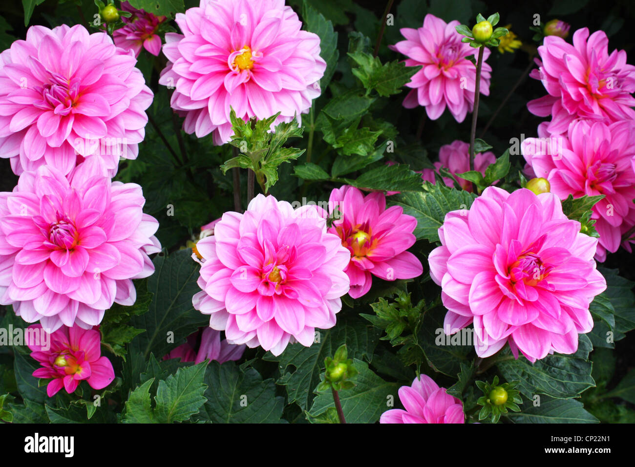 Dahlia leaves stock photos dahlia leaves stock images alamy pink dahlia flowers with green leaves in a garden stock image izmirmasajfo