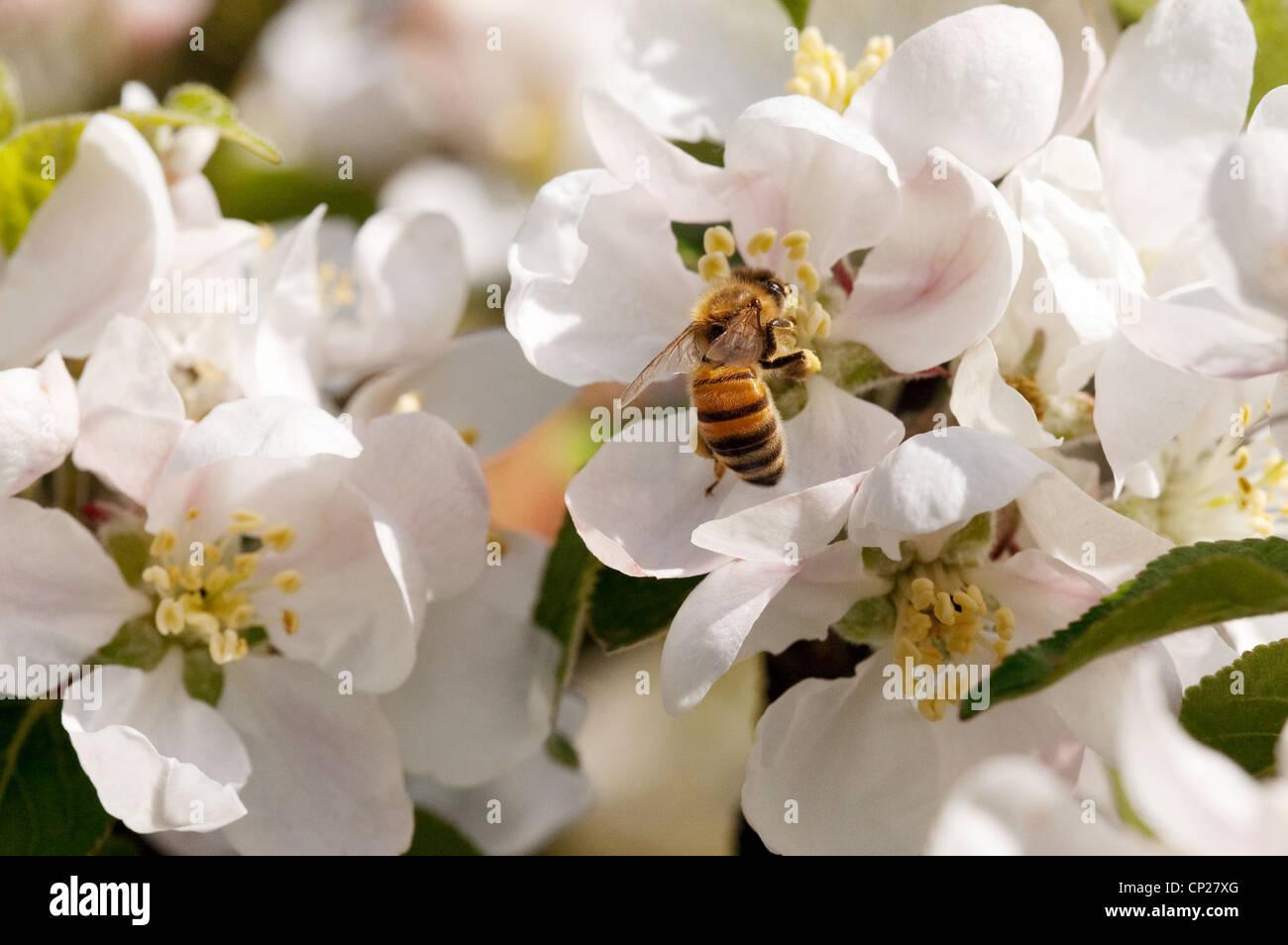 Western Honey Bee (Apis Mellifera) on apple blossom, UK