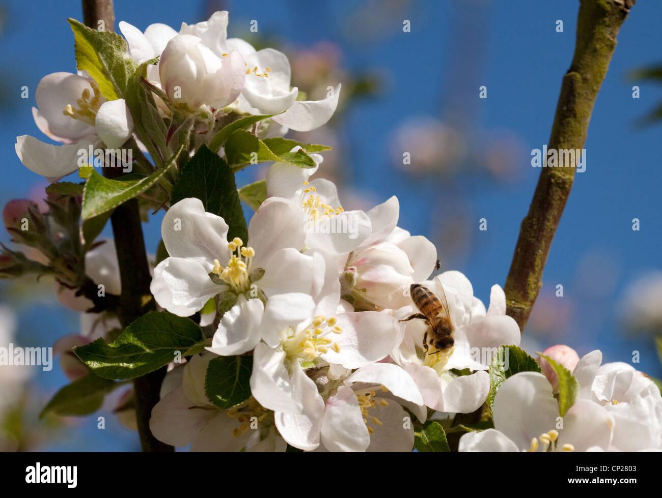 Western Honey Bee (Apis Mellifera) on apple blossom, UK - Stock Image