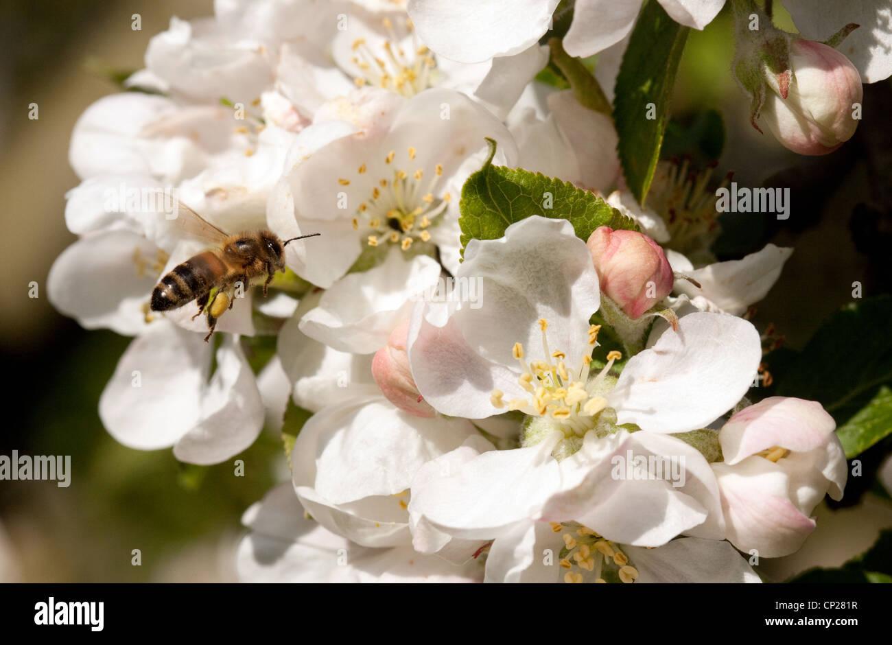 Honey Bee (Apis Mellifera) on apple blossom, UK - Stock Image