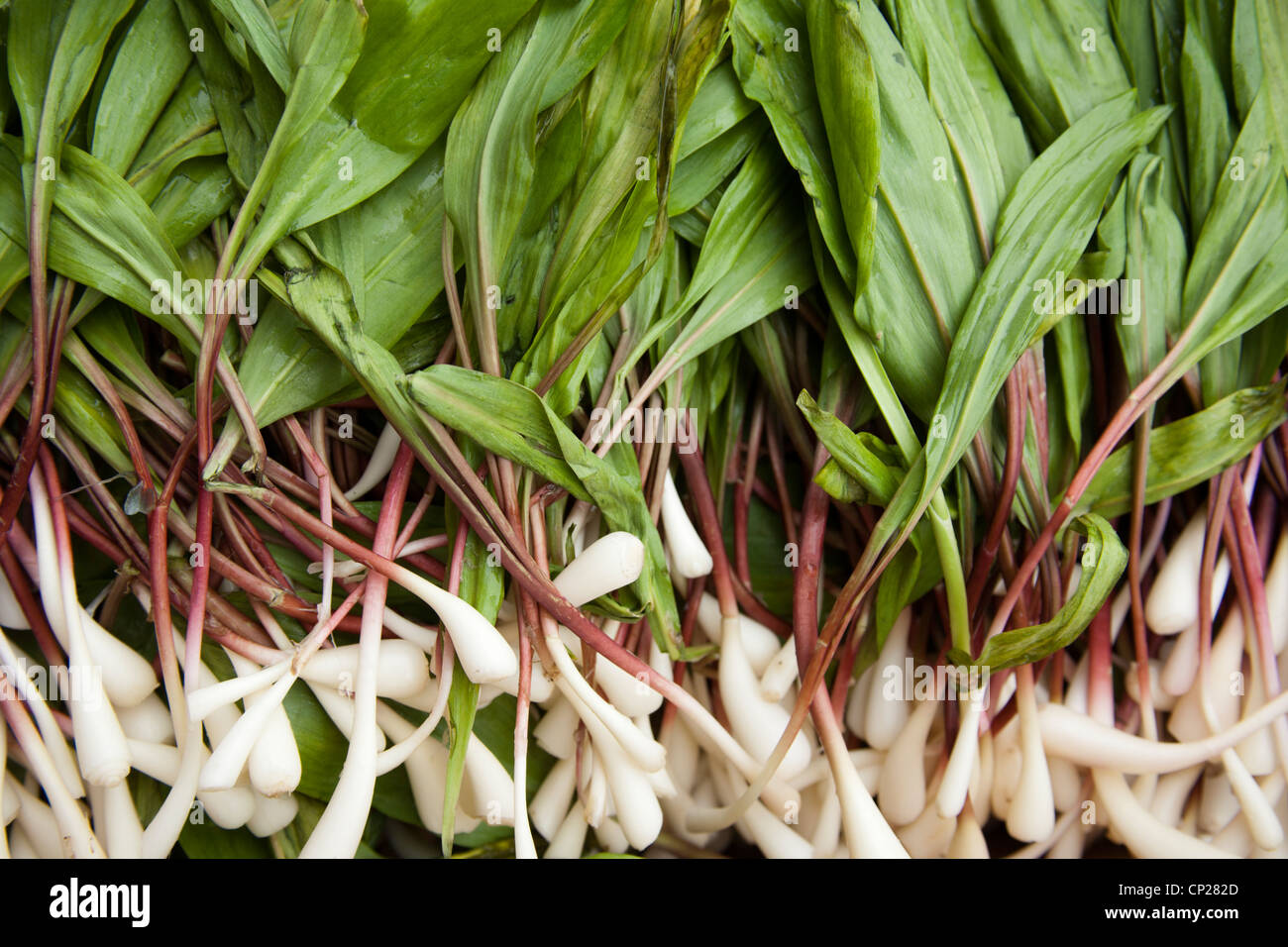 Ramps also known as Wild Leeks, Richwood, West Virginia, USA Appalachia - Stock Image