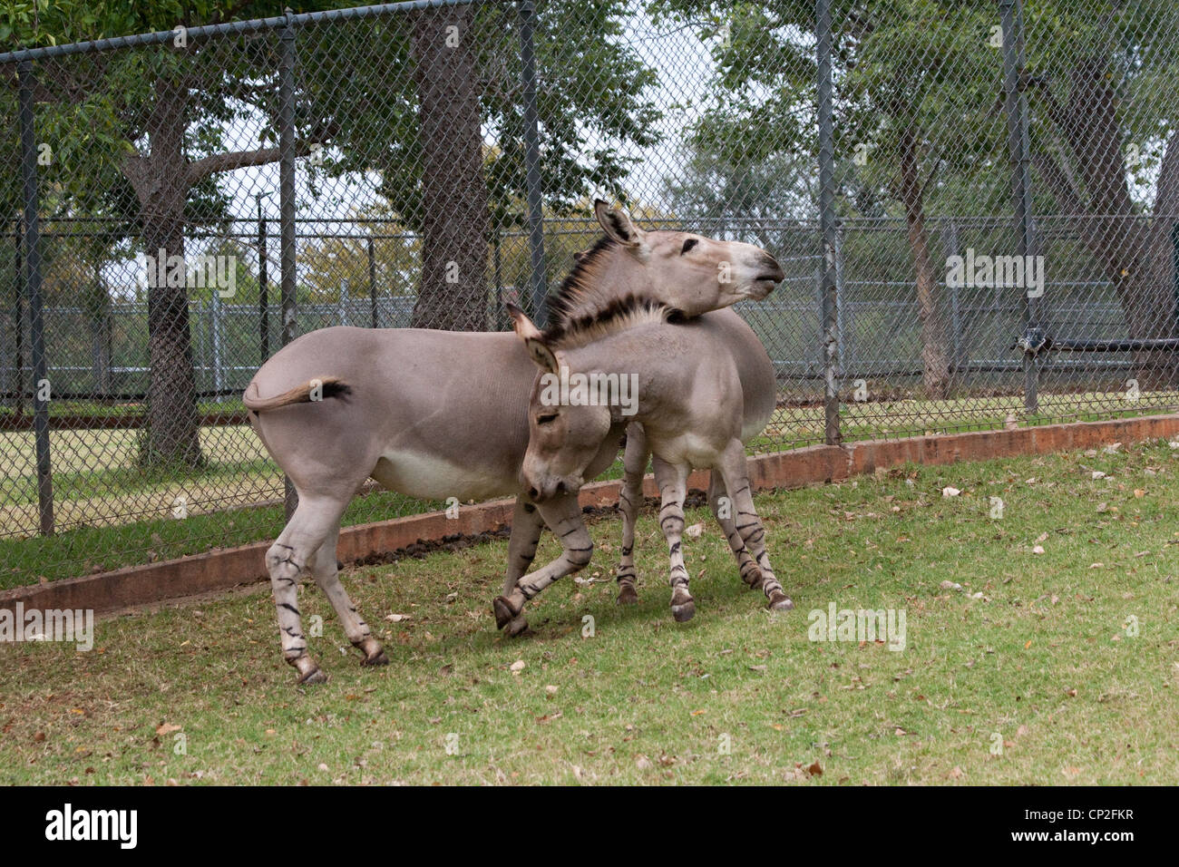 African Wild Ass Play Fighting