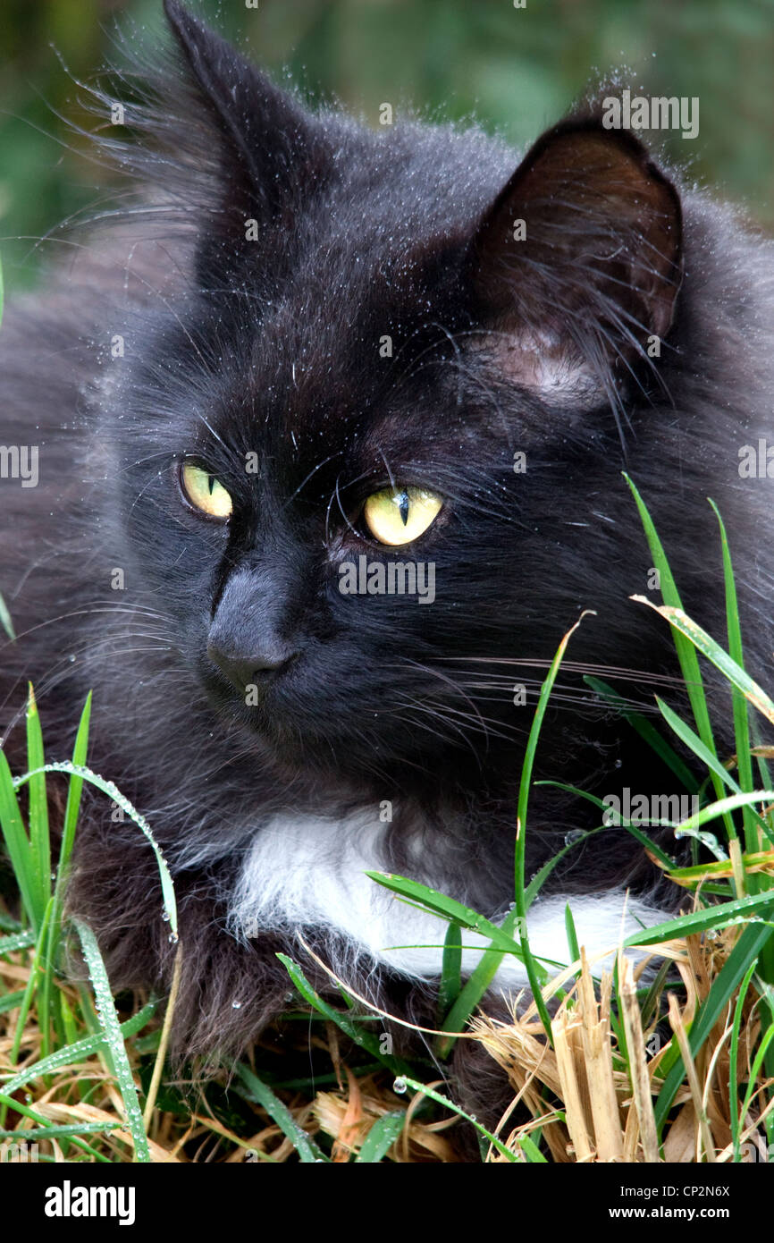 A black Norwegian Forest cat lurking in a suburban Devon, UK, garden. - Stock Image