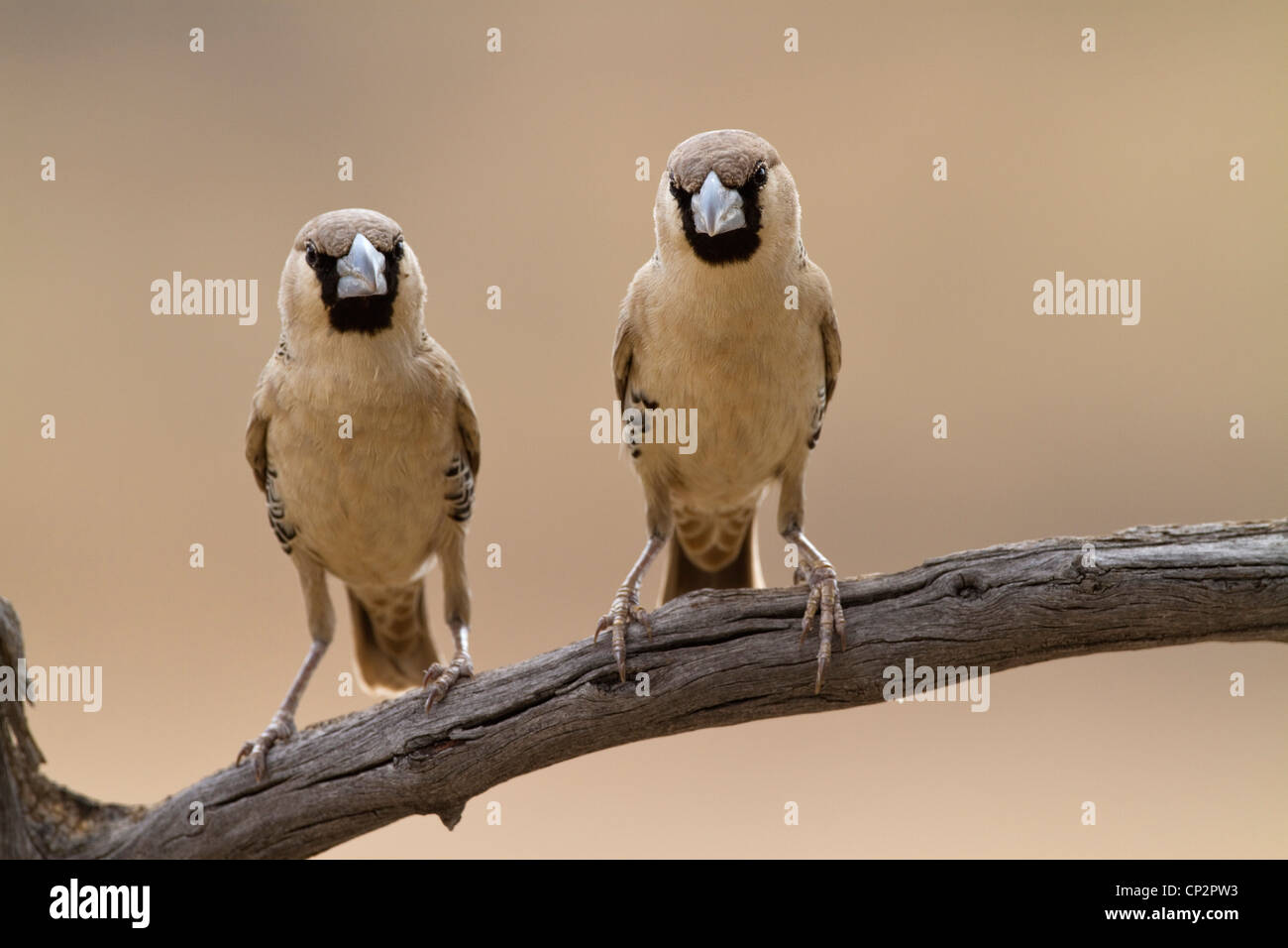 Two sociable weaver birds perched side-by-side on a branch - Stock Image