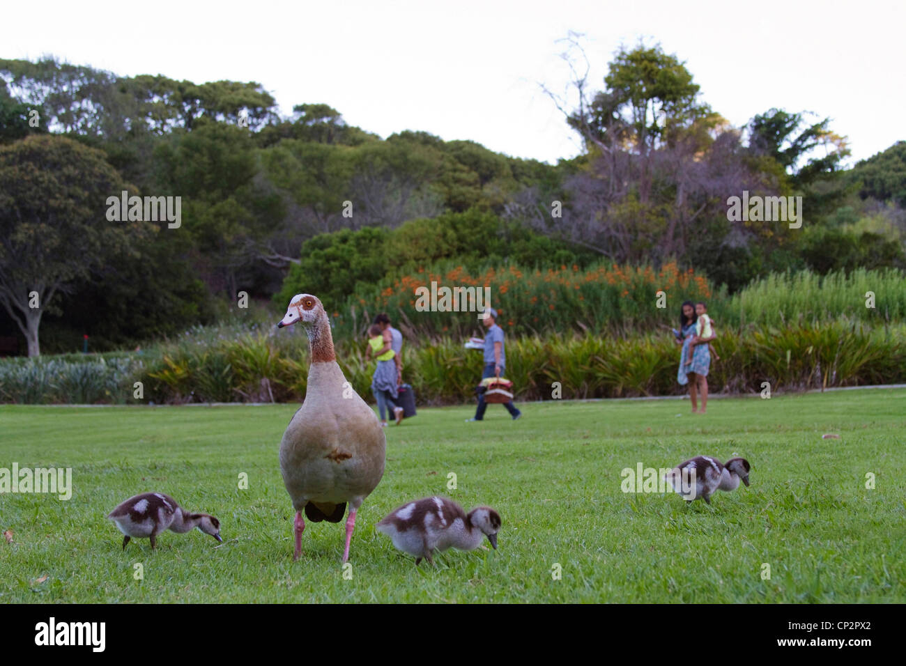 A passing family in the Kirstenbosch Gardens pause to watch an Egyptian goose and its goslings - Stock Image