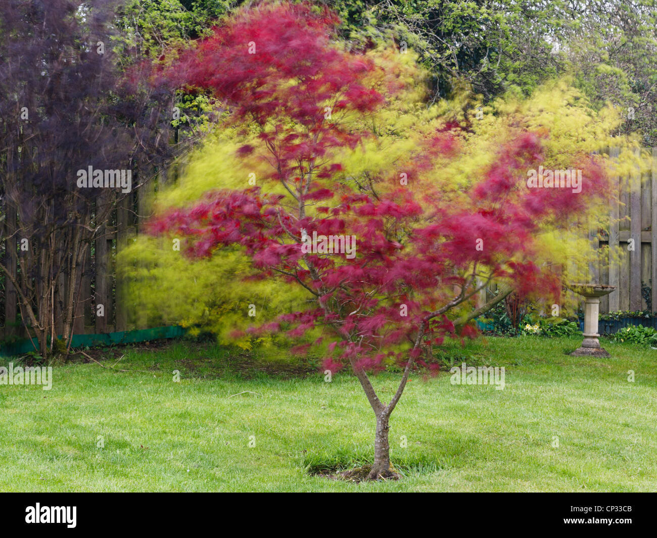 Blurred leaves of Red Japanese Maple tree Acer palmatum 'Atropurpureum' blowing in the wind in a domestic - Stock Image