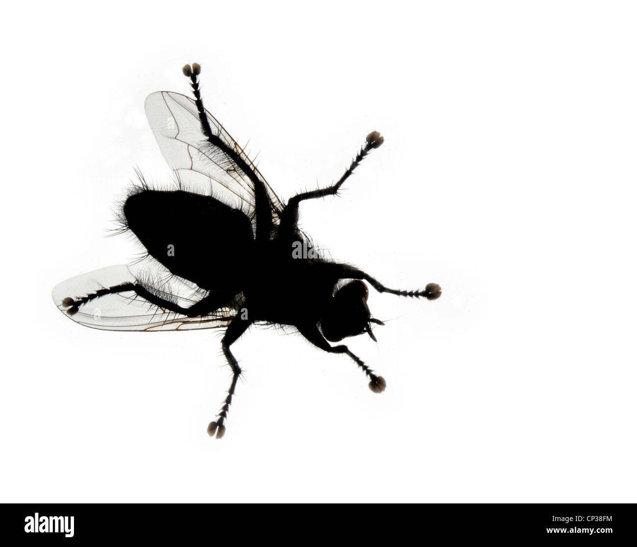 Housefly, isolated on white - Stock Image