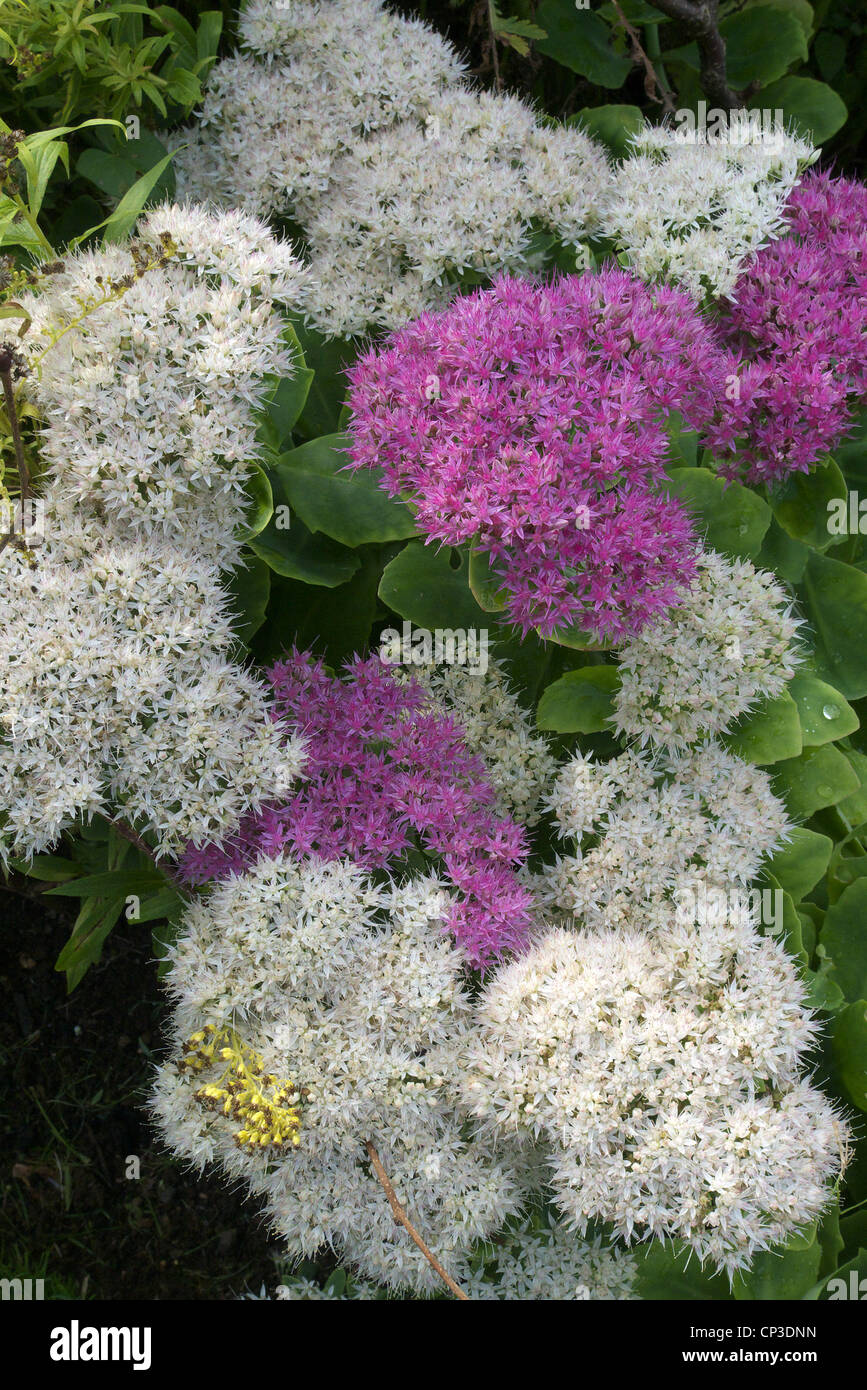 Mixed Flowering Sedum spectabile 'Iceberg' White Flowering and 'Meteor' Pink Flowering. Known as the Ice Plant Stock Photo