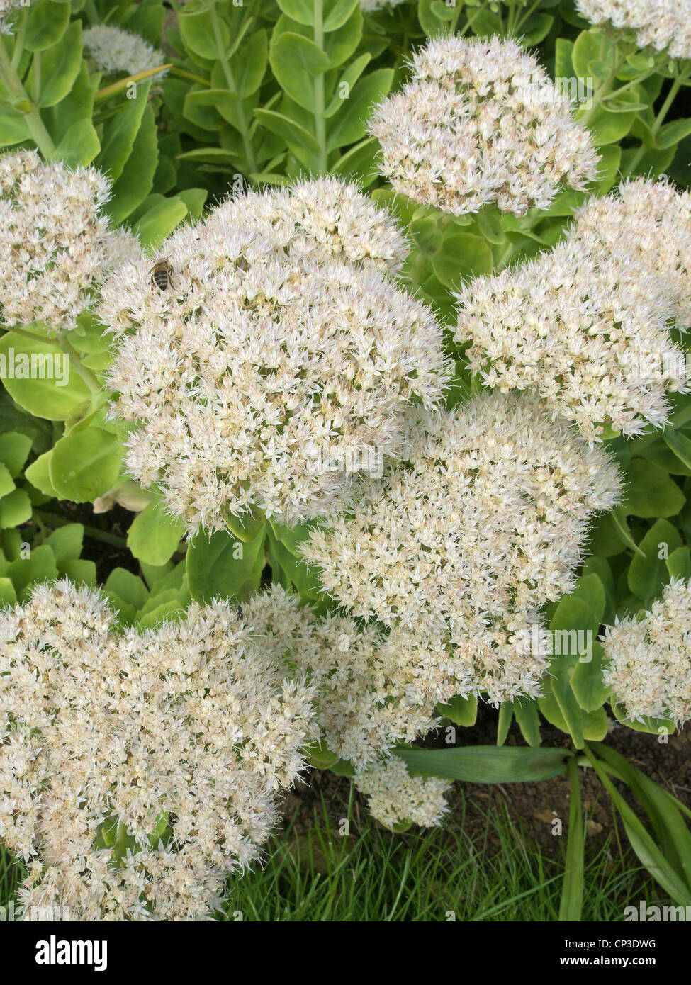 Flowering Sedum spectabile Cultivar 'Iceberg' in Autumn commonly known as the Ice Plant. Stock Photo