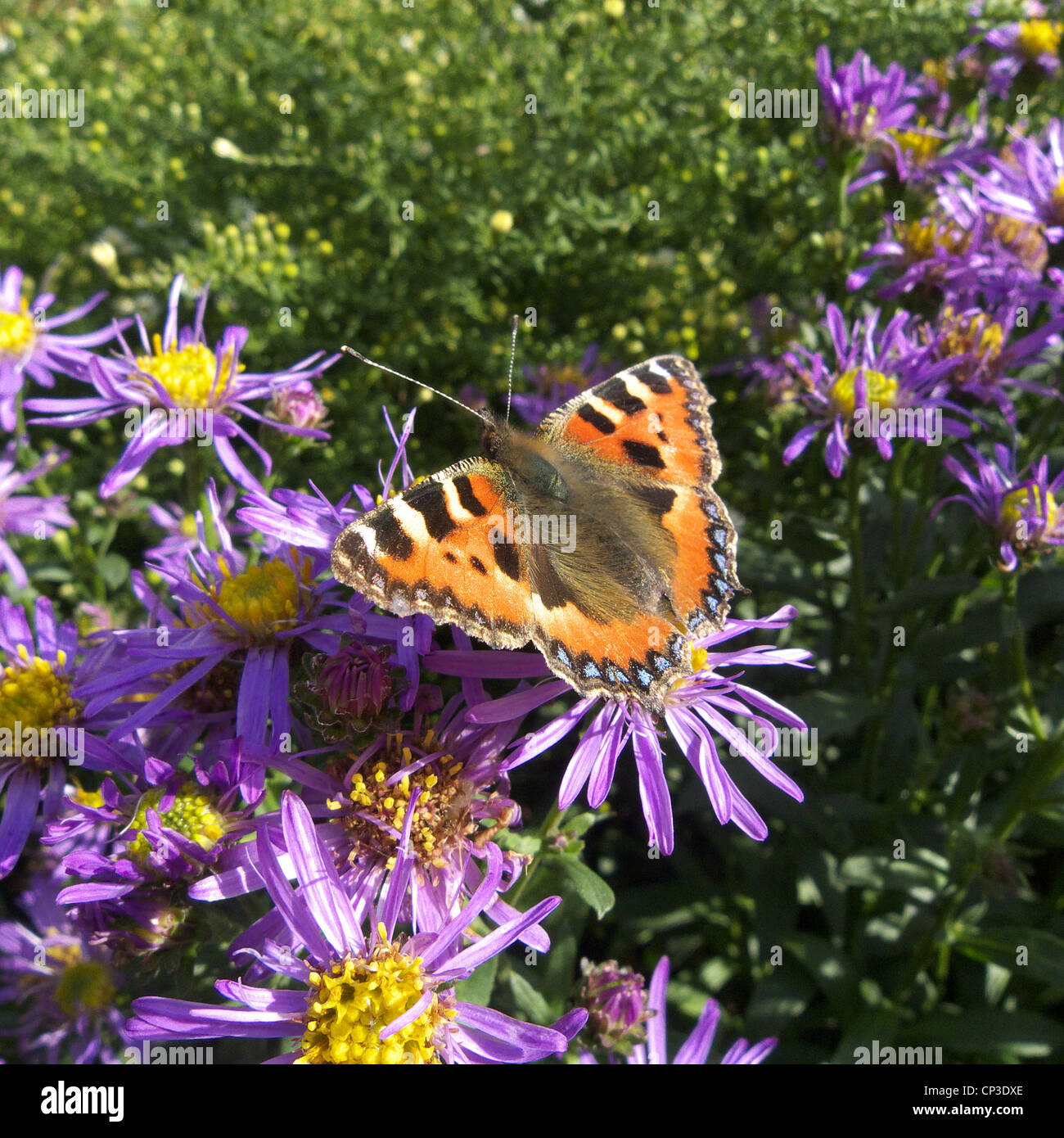 Small Tortoiseshell Butterfly (Aglais urticae) Feeding/Perched on an Aster amellus flower (Michaelmas Daisy) - Stock Image