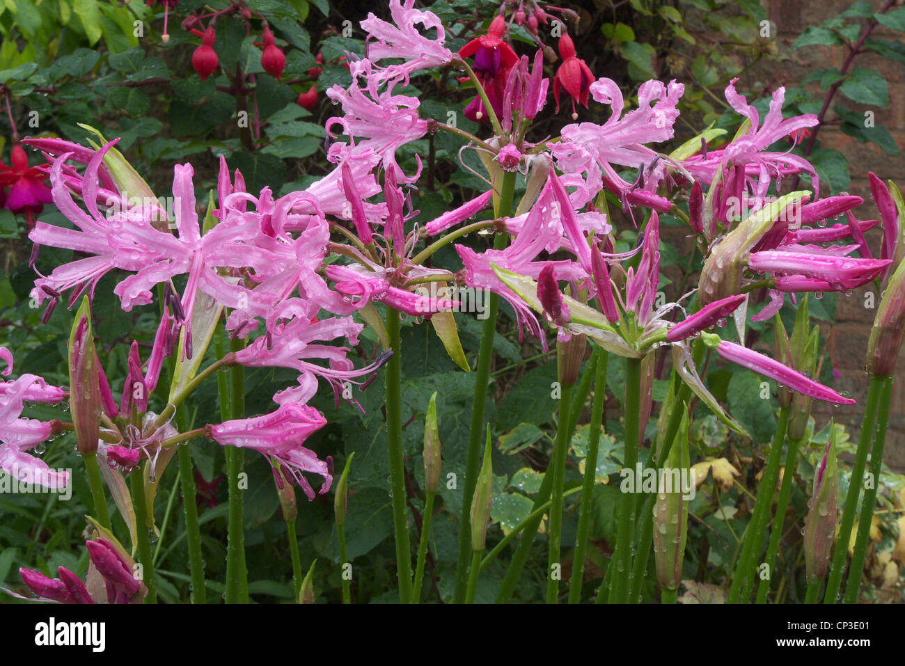 Nerine bowdenii in Flower - Stock Image
