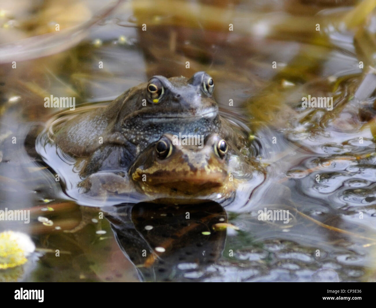 A pair of mating Common Frogs ( Rana temporaria ) - Stock Image